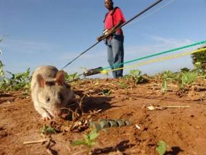 Landmine rat Ars Technica